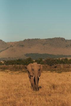 Elephant in Kenyan Masai Mara Serengheti