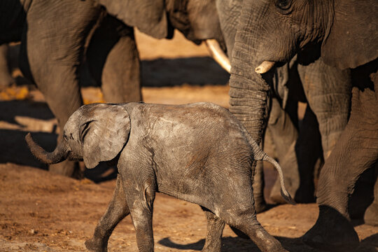 Close-up of a Baby Elephant and his Mum