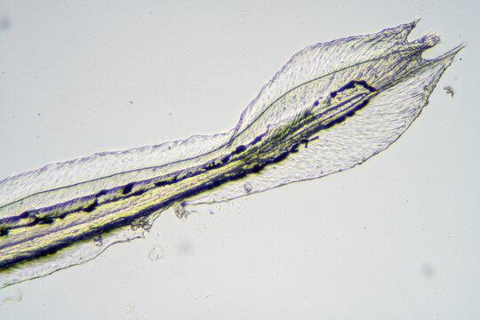 zebrafish under microscopy