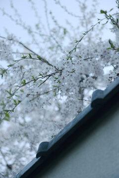 Close up beautiful cherry blossom. Japan's journey