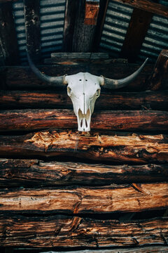 A bull/cow skull on a wooden background