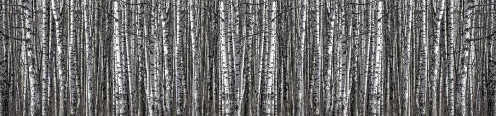 birch trunks black and white long stripe