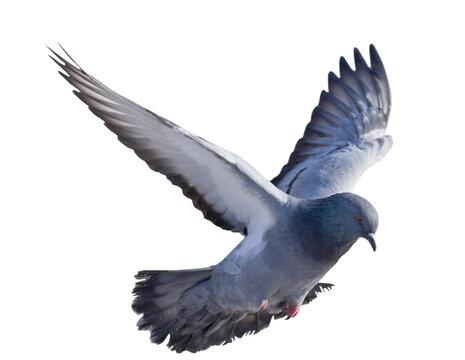 isolated on white dark grey pigeon in flight