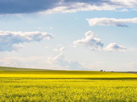 landscape with rapeseed field in summer