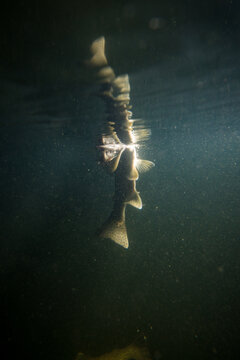 Rainbow trout feeding underwater