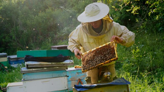 The beekeeper opens the hives and checks the frames with honey.