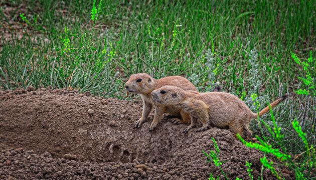 Prairie Dog Pair, Theodore Roosevelt National Park, North Dakota, USA