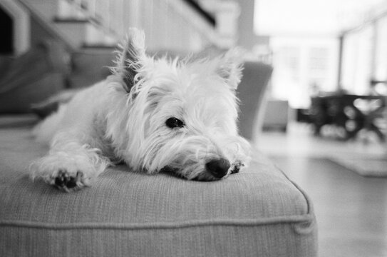 Cute white dog laying on a couch