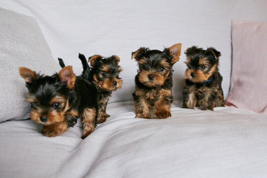 Yorkshire Terrier puppies on the sofa in the living room home