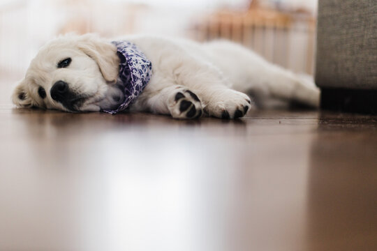 young puppy resting
