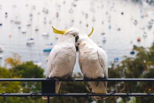 cute cockatoos