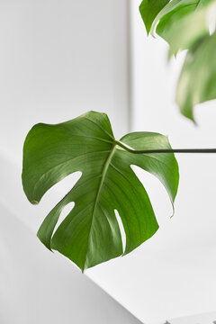 home plant tropical leaf on a white background