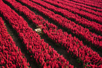 Red flower garden landscape flower field with plant farm, Beautiful Celosia Plumosa flowers scenery summer
