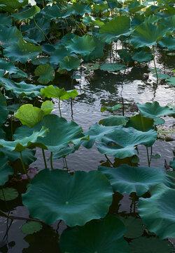 Beautiful and quiet lotus pond