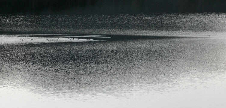 Swimming ducks in a dam, near Dospat Bulgaria