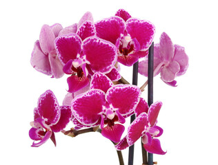 Dark red miniature orchids bloom for a very long time  isolated
