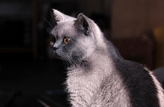 British short pet cat playing at home