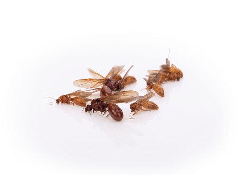 Winged ants isolated on white background