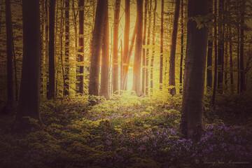 Le bois de Hal au lever du soleil