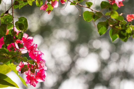 Bougainvillea flower on green leaves blur background, focus on foreground