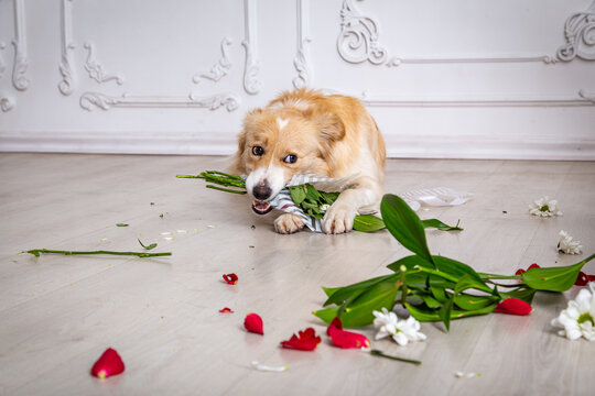 Border collie dog with torn flower bouquet in his teeth