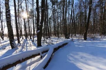 Fototapeta Zima w lesie, leżąca kłoda obraz