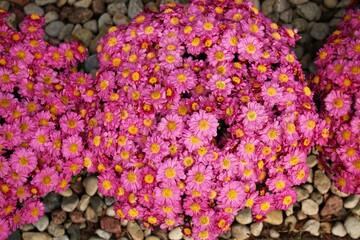 Beautiful light purple Chrysanthemum flowers grow in abundance in the garden area