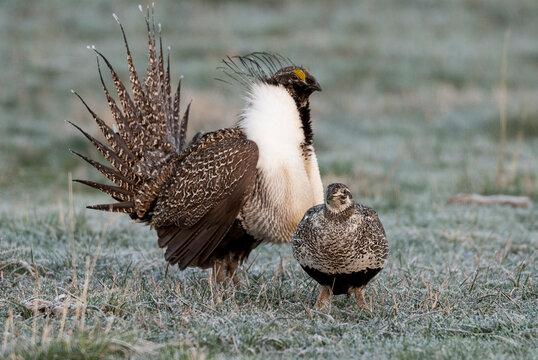 Greater sage grouse male and female at lek, Hennifer, Utah, USA.