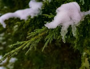 Zdjęcie tui lekko pokryte śniegiem, wykonane wczesną wiosną.