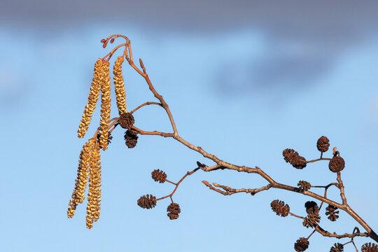 Männliche Blüten und weibliche Knospen der Schwarzerle (Alnus glutinosa) sowie die alten Fruchtstände auf dem letzten Jahr.
