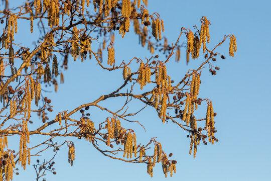 Männliche Blüten der Schwarzerle (Alnus glutinosa) sowie die alten Fruchtstände auf dem letzten Jahr im Abendlicht