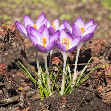 Blühender Elfenkrokus mit Blüten und Blättern (Crocus tommasinianus, Dalmatiner Krokus).