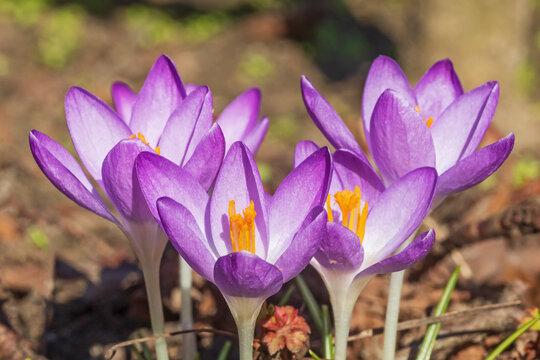 Violette Blüten des Elfenkrokus (Crocus tommasinianus, Dalmatiner Krokus) mit violetten Blütenblättern.