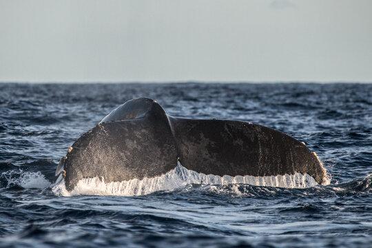Humpback whale flukes before deep dive