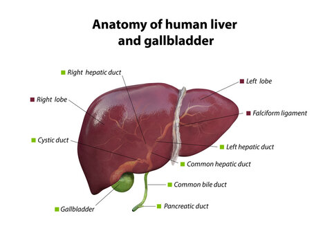 liver and gallbladder anatomy structure. hepatic system organ, Human liver for medical drugs, pharmacy and education design. 3D rendering