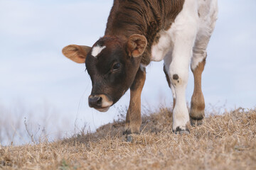 Wall Mural - Brown and white crossbred calf on hill of winter field closeup.
