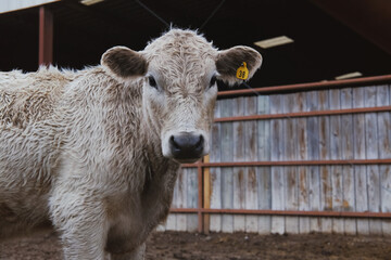 Wall Mural - Charolais calf shows young beef cow face close up on farm.