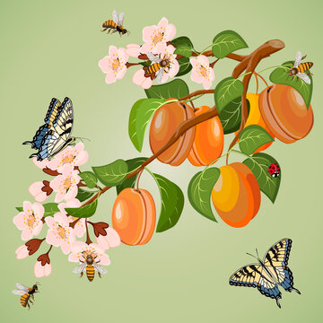 Branch with apricots in a color illustration.Vector illustration with a branch of apricot and insects on a colored background.