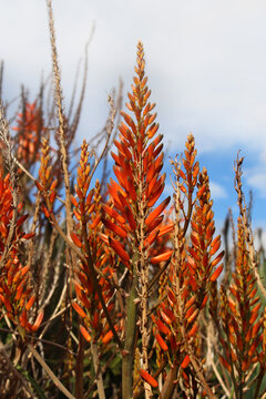 Orange flowers of a mass planting of Aloe brevifolia plants growing in a garden
