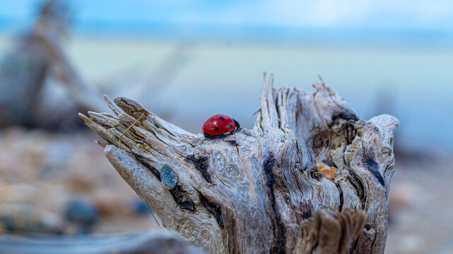Driftwood On Sand And Pebble Beach Low Level Close Up View With Red Ladybird Beetle In Foreground