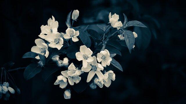 Close-up Of Fresh White Hydrangea Flowers Against Black Background