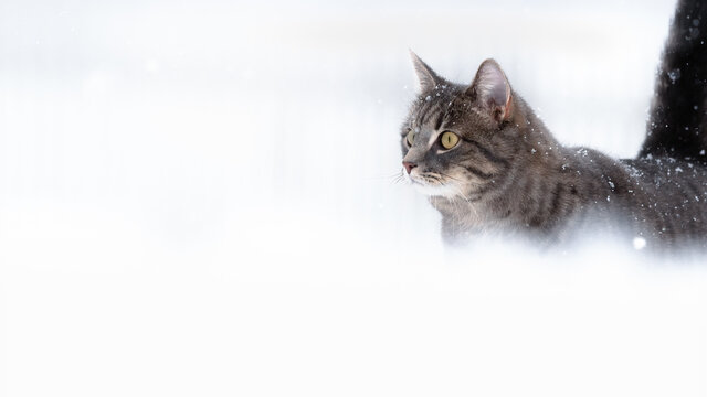 Housecat out walking in the winter snow with negative space in Norway