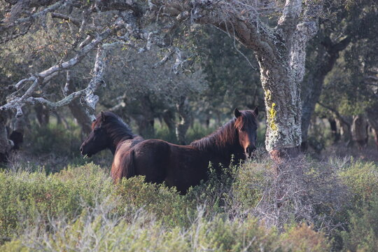 Horses In A Forest In Sardinia