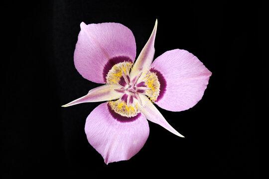 USA, Washington State. Close-up of a mariposa lily.