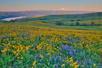 Fototapeta USA, Washington State. Wildflowers bloom in Columbia Hills State Park.