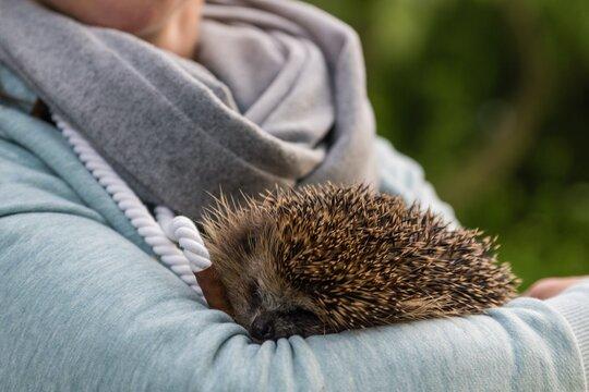 Close-up Hedgehog