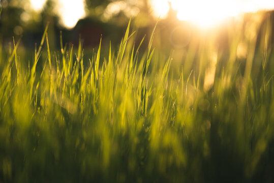Sunlit grass during sunset.
