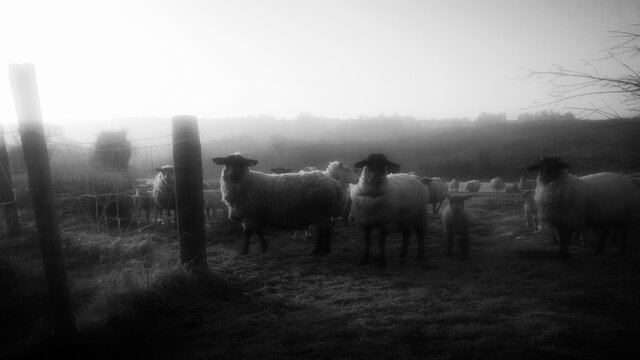 Flock Of Sheep On Field Against Clear Sky During Foggy Weather