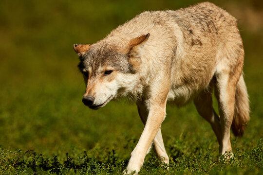 Wolf Walking / Stalking