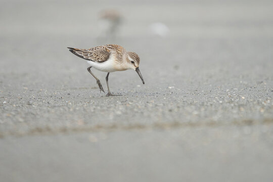 USA, Washington State. A Western Sandpiper (Calidris mauri) forages on a beach during fall migration. Makah Bay.